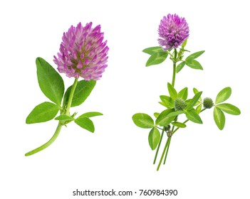 two flowers of red meadow clover with leaves and a stem close-up isolated on white background