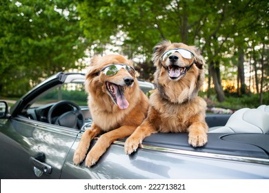 Two fluffy brown dogs go for a ride wearing sunglasses in a convertible car