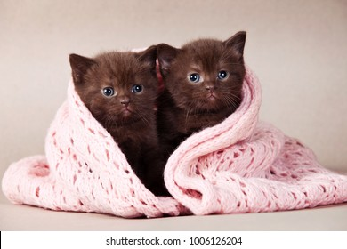 two fluffy brown kitten of a British cat in a pink scarf on a gray background