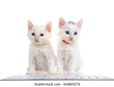 Two fluffy white kittens wearing bright collars sitting on a white surface with computer keyboard in front of them, isolated on white background.