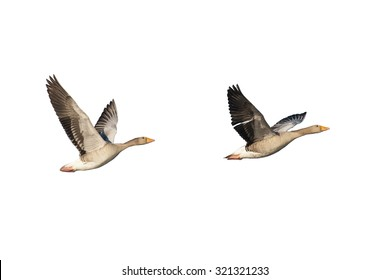 Two flying greylag geese isolated on white
