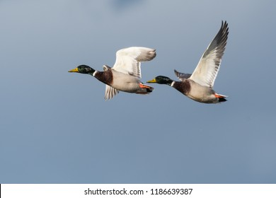 Two flying male Mallards, Anas platyrhynchos, against blue skies