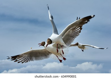 Two flying seagulls fighting for food in the sky