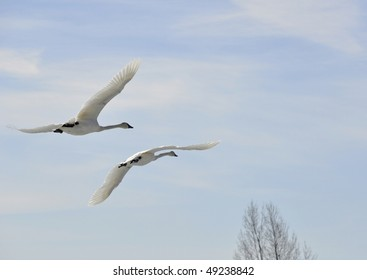 two flying trumpeter swan
