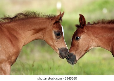 Two foals nose to nose