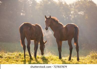 Two foals on the meadow in morning sunlight