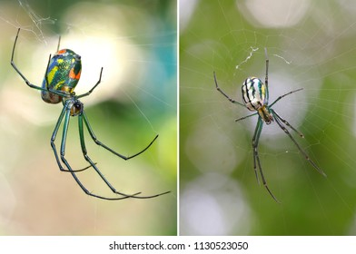 Two Focus Stacked Images of a Venusta Orchard Spider One from the Top the Other from Below