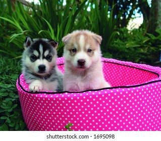 Two four weeks old pure breed Siberian husky puppy in a pink bed