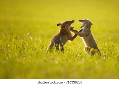 Two fox cubs playing in summer sunset