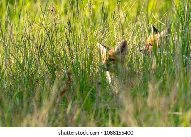 Two fox puppies in the high grass