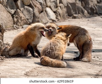 Two foxes communicating, Japan,