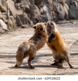 Two foxes fight, Japan,