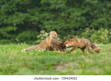 two foxes with prey