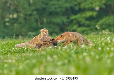two foxes with prey, foxes feeding on pheasant with forest background