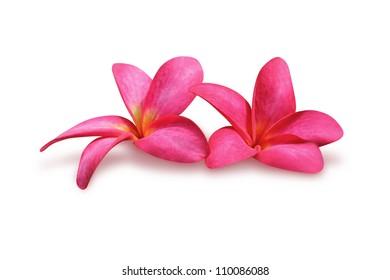 Two frangipani (plumeria) flowers on white background