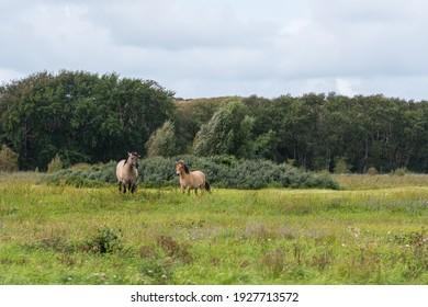 Two free-roaming konik horses standing in a grass land in Lentevreugd, The Netherlands