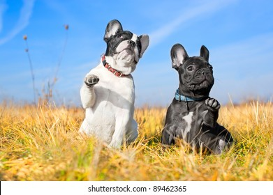 Two french bulldog puppies in a field