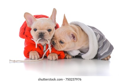 two french bulldog puppies wearing winter jackets