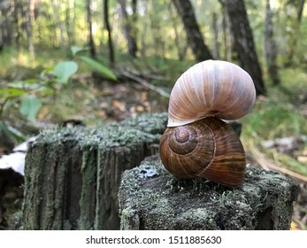Two french burgundy snails on a forest snail farm. Shells of live mollusks. Growing snails on a snail farm for sale and business.