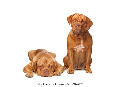 Two French Mastiff dogs in front of a white background