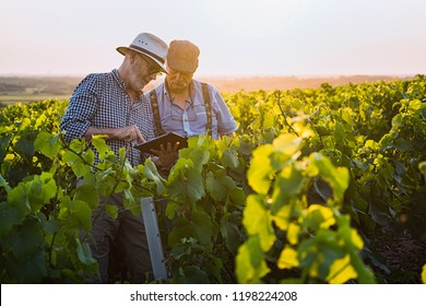 Two French winegrowers working in their vineyards at sunset. They are using a digital tablet.