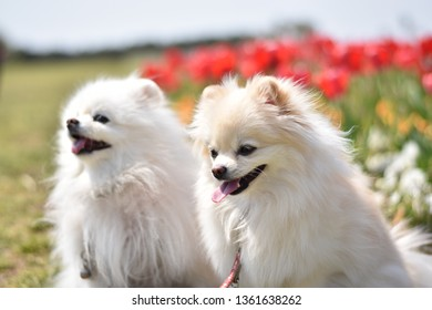 The two frendly pomeranians