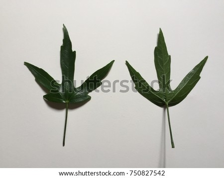 Two Fresh Green Hibiscus Leaves White Stock Photo Edit Now
