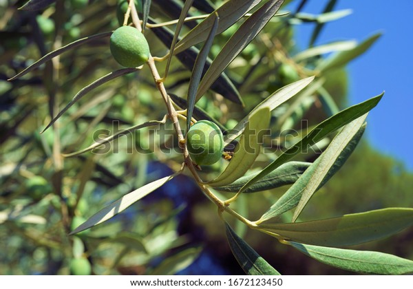 two fresh olives on the tree branch with lots of green leaves