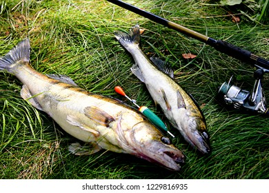 Two freshly caught wild zander on green grass, with fishing rod. Latvia