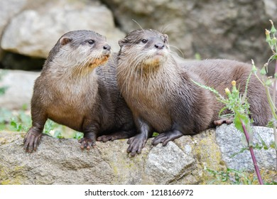 two freshwater otters