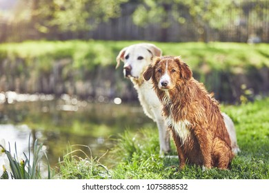 Two friendly dogs in summer nature. Labrador Retriever and Nova Scotia Duck Tolling Retriever sitting on the bank of the lake during sunset.