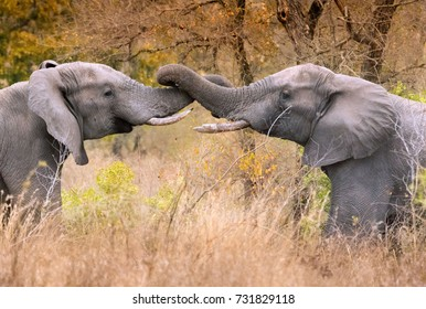 Two friendly male elephants greet each other by entwining trunks