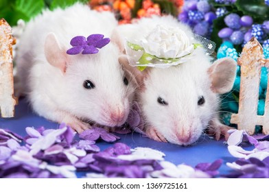 two friends cute baby funny rat white with curls and big ears Dumbo sits in beautiful hats on a purple meadow of pa next to the cardboard fence. Chinese New Year symbol