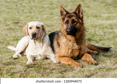 Two friends german shepherd and labrador retriever sitting on a green grass at the park.