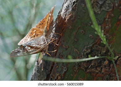 Two fritillary butterflies feeding at a crack in a palo verde tree branch in Arizona