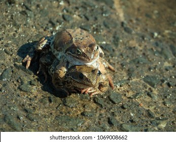 Two frogs mated at spring day