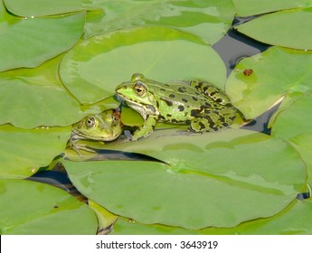 Two frogs in water-lily leaves
