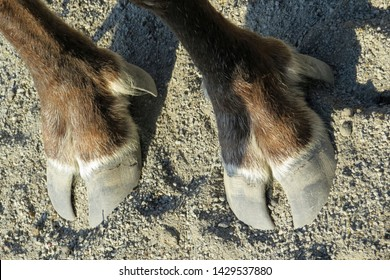 Two front hooves of a Swedisch elk / moose (alces alces). With about 400,000 there are more moose in Sweden per square kilometer than in any other country in the World.