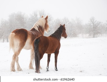 Two frosty horses, a big and a small one, looking into distance on a cold foggy winter day