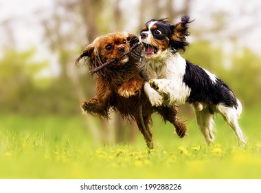 two fun cavalier king charles spaniel dog and puppy running in summer nature