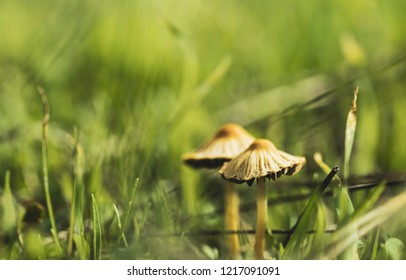 Two fungi from the fungi kingdom family among the forest grass, with unfocused green background