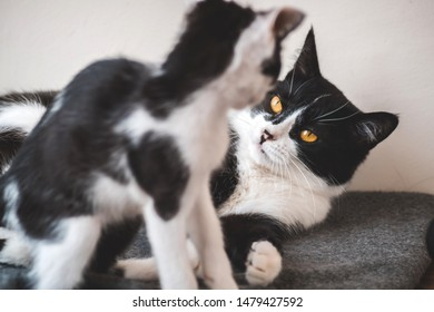 Two funny black and white tuxedo cats are fighting among themselves