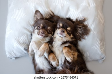 two funny chihuahua dogs sleeping on a pillow together
