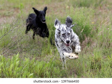 Two funny dogs are playing together in a green meadow. A cute black flat coated retriever is chasing a white black spotted dog. The dogs are running with speed so that the flabby ears are flying.