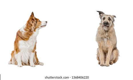 Two funny and funny dogs are sitting next to each other. The background is isolated. Pedigree and not pedigreed dogs.