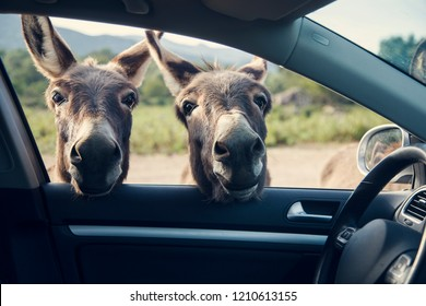 Two funny donkeys curiously looikng to the car