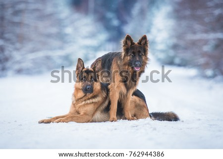 Two Funny German Shepherd Dogs Winter Stock Photo Edit Now