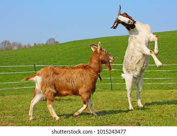 Two funny goats on the meadow in sunny day