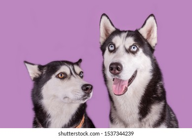 Two funny happy husky dogs muzzle banner on magenta background. Concept of dog emotion