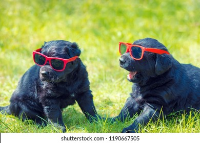 Two funny labrador retriever puppies wearing sunglasses sitting on the grass
